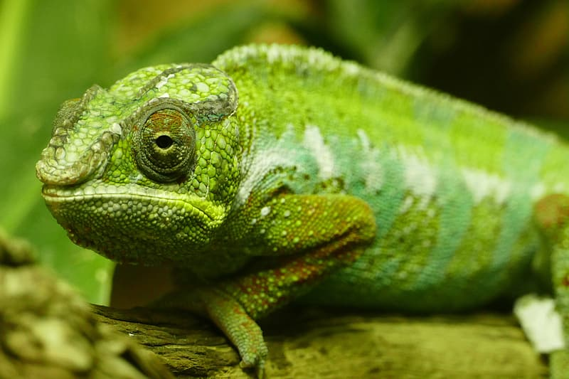 Closeup shot of a green chameleon lizard