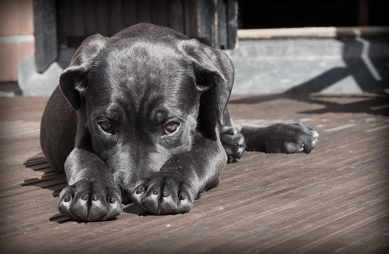 Black and white American pit bull terrier lying on brown wooden panel during daytime