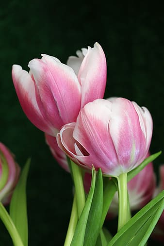 Pink and white tulips in bloom during daytime