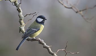 untitled, blue tit, tit, birds, bird, animals, animal, nature, wild animals, wildlife