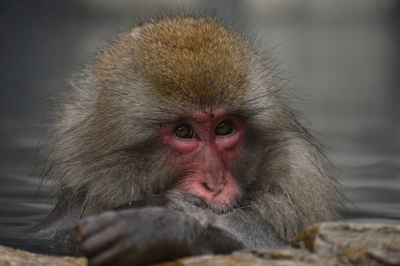 Brown and gray monkey in close up photography