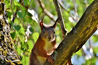 Brown squirrel on top of tree branch