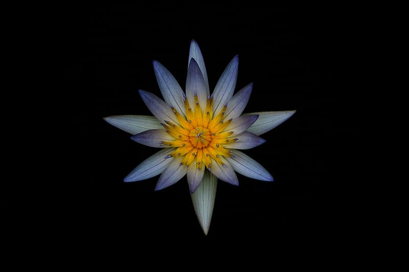 Blue and yellow waterlily flower