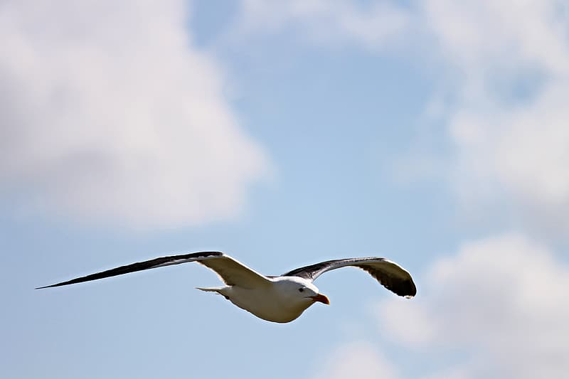 White and gray seagull flying under white clouds