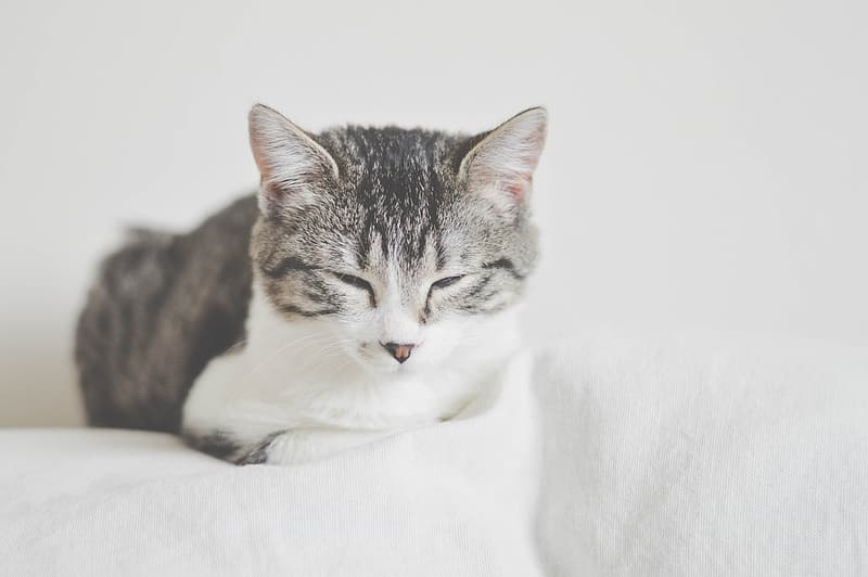 Silver Tabby Cat Lying On White Surface Pikrepo