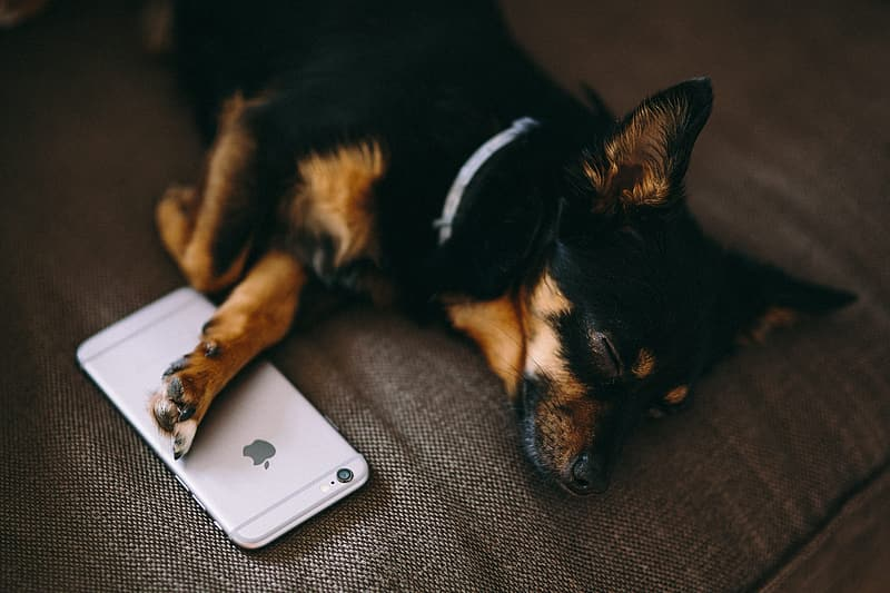 Puppy sleeping with iPhone 6