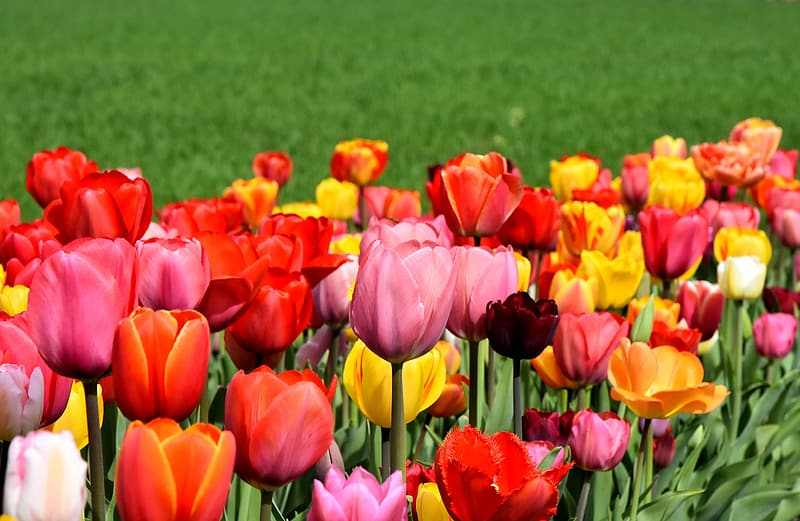 Shallow focus of pink, yellow, and red tulips