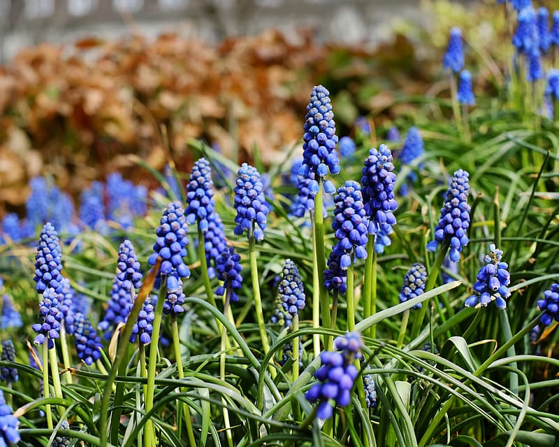 Purple grape hyacinth flowers in selective focus photography