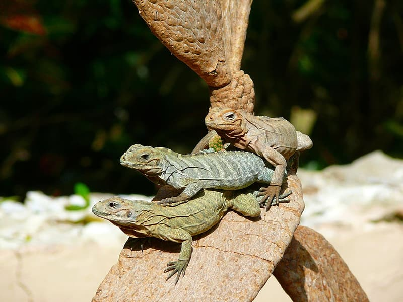 Three brown and green lizards on top of brown cactus