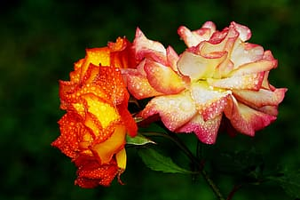 Close-up photo of red-and-yellow roses with dews