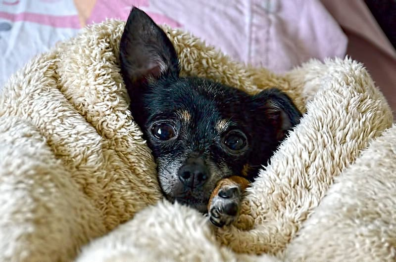 Black Chihuahua covered with blanket