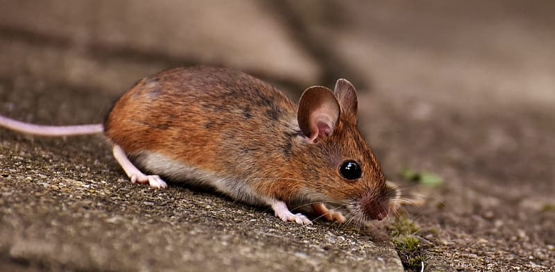 Brown and white rodent on ground