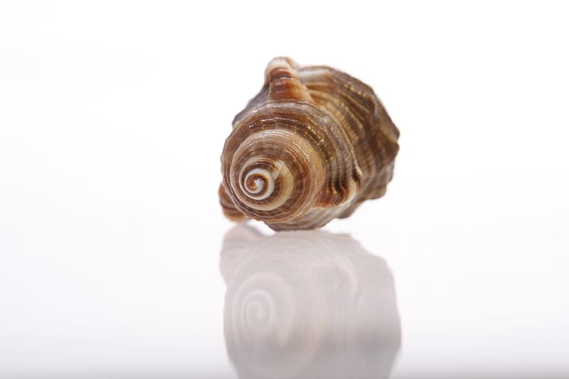 White and brown sea shell