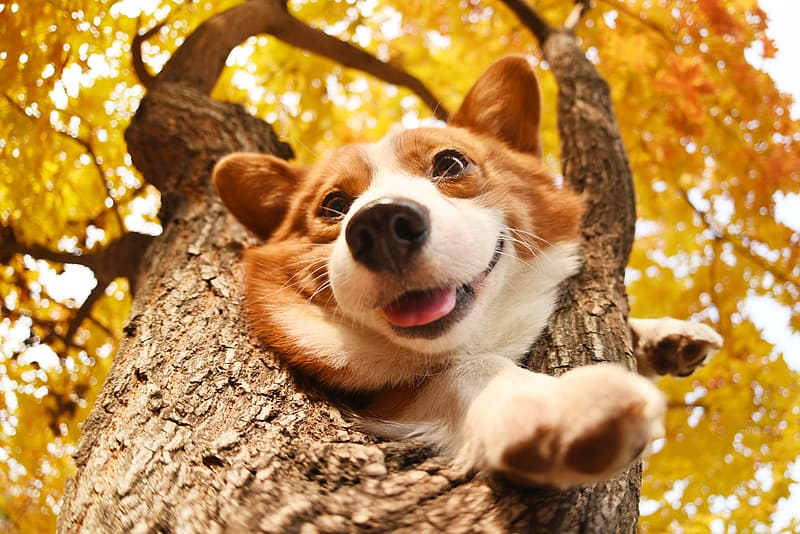 Adult white and brown Pembroke welsh corgi puppy on tree