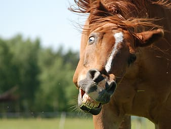 Close up shot of a brown horse showing its teeth