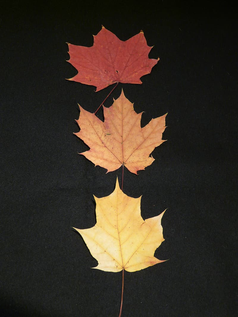 Brown maple leaf on black textile