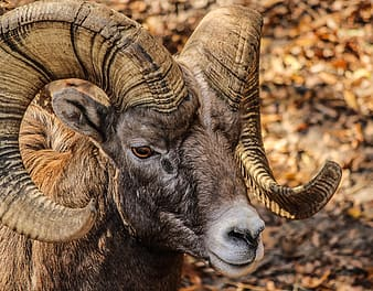Brown horned animal