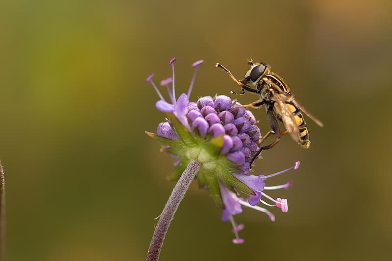 Yellow hoverfly perched on purple flower in closeup photo