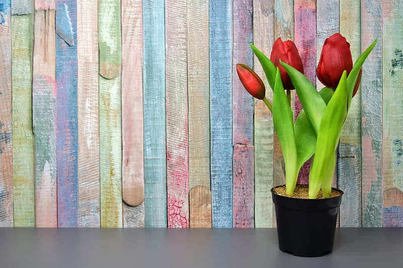 Red tulips on black pot