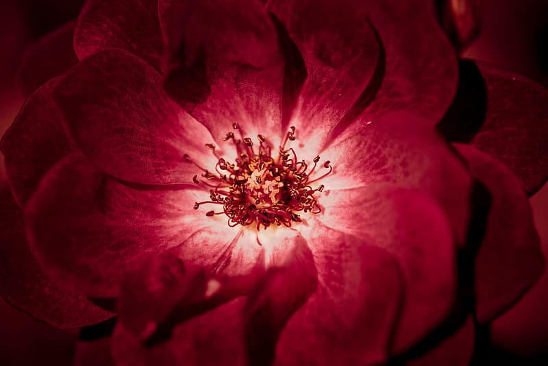 Close up photo of red petaled flower