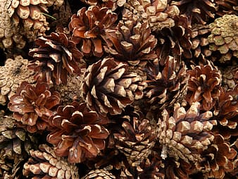 Brown pine cone lot