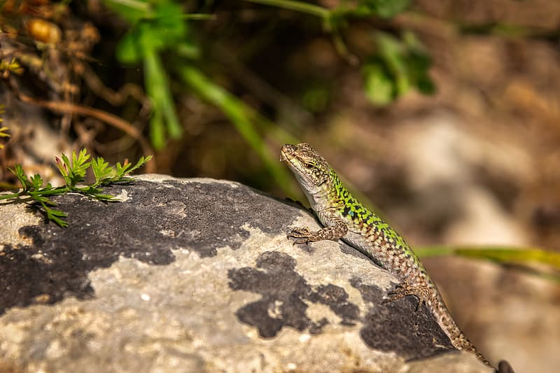 Selective focus photo green and brown gecko