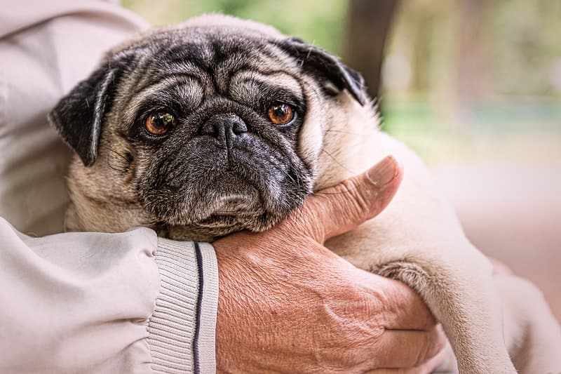 Person holding fawn pug