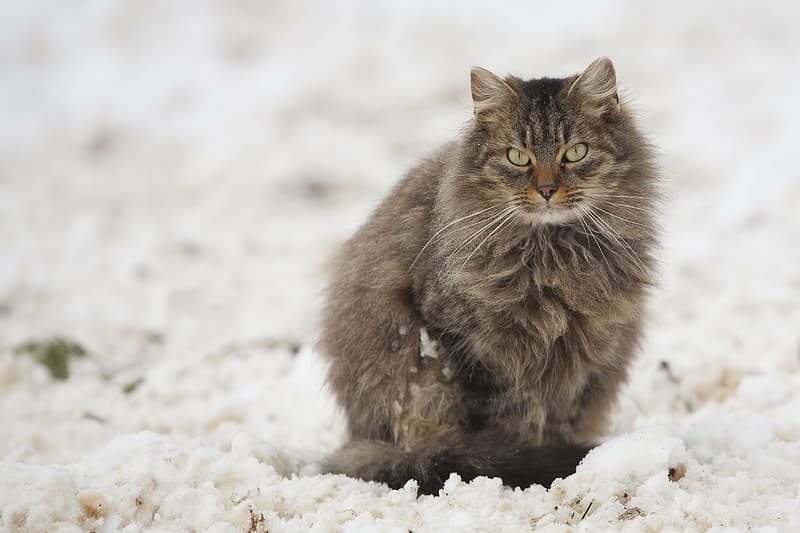 Long-coated brown cat on top of white surface