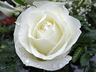 Close view of white rose with dew drops