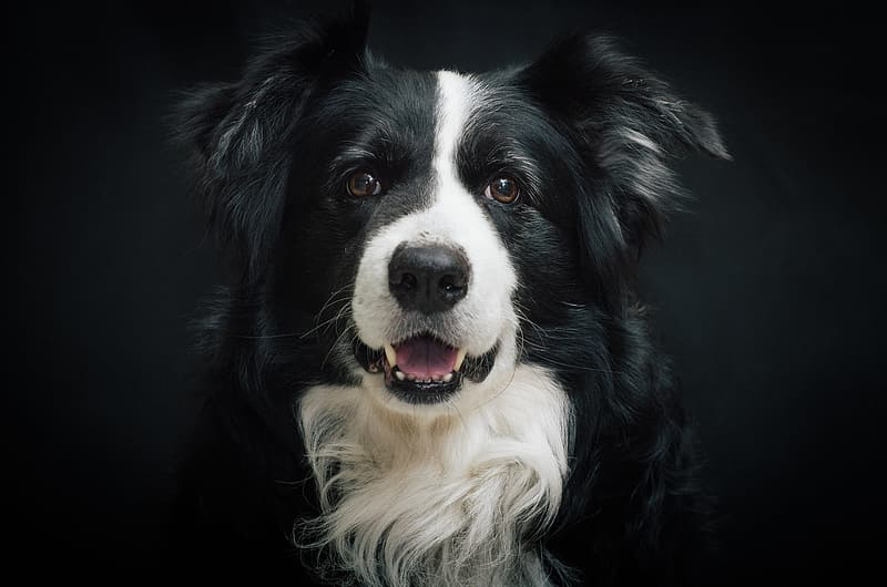Adult white and black border collie