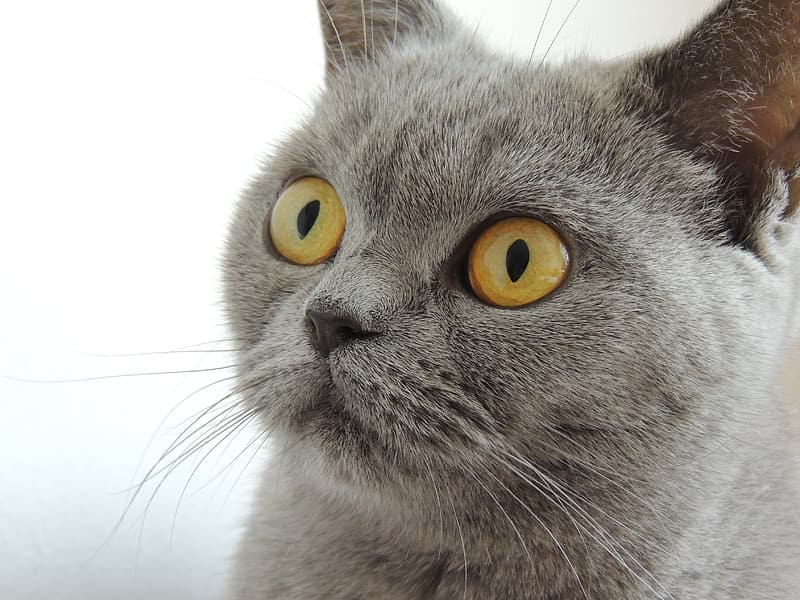 Adult Russian blue