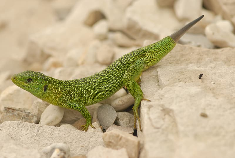 Green lizard on white rock