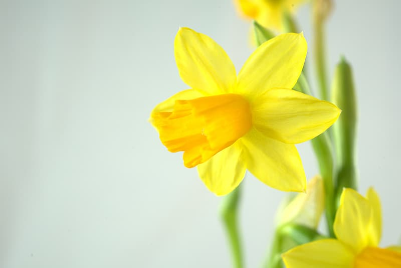 Yellow daffodils in bloom close up photo