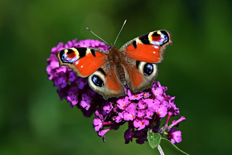 Peacock butterfly perched on purple flower in close up photography during daytime