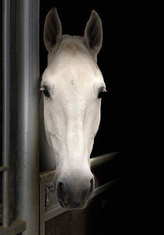 White horse on stable