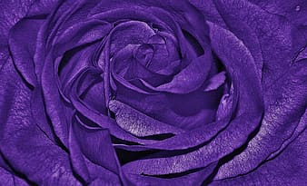 Close up photography of purple rose