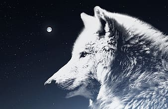 White wolf with black background