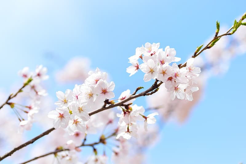 White-and-pink cherry blossoms in bloom at daytime