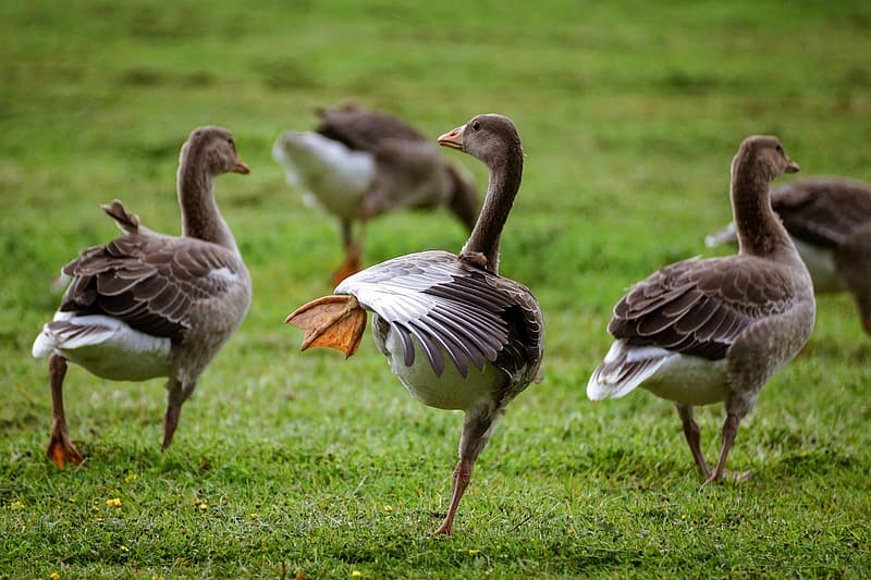 Two brown and white geese on green grass field during daytime