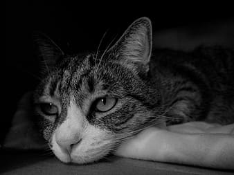 Greyscale photography of resting cat
