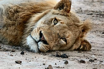 Brown lion lying on gray sand during daytime