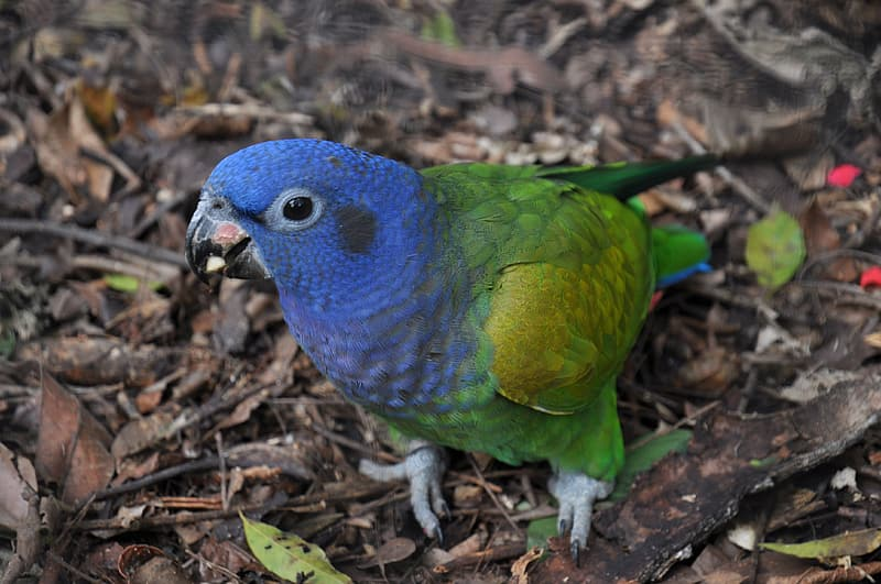 Blue green and yellow bird on brown dried leaves