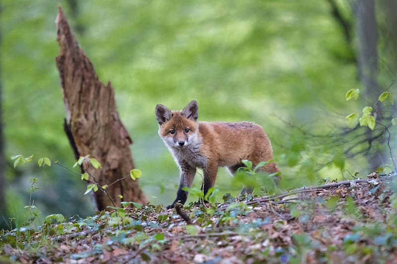 Wild photography of brown fox beside wood