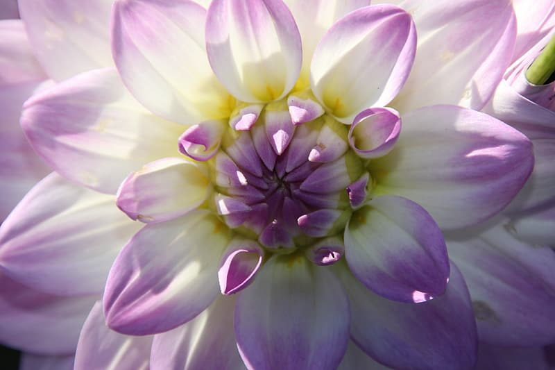 Close-up photo of purple and white dahlia flower