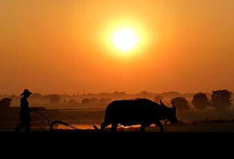 Silhouette of cow on field during sunset