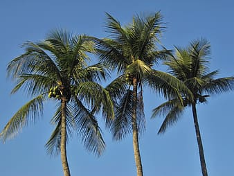 Three green coconut trees