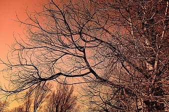 Bare tree under orange sky