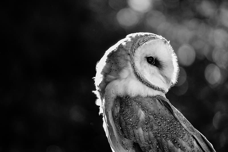 Grayscale photograph of owl