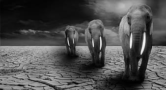 Grayscale photography of three elephants on desert