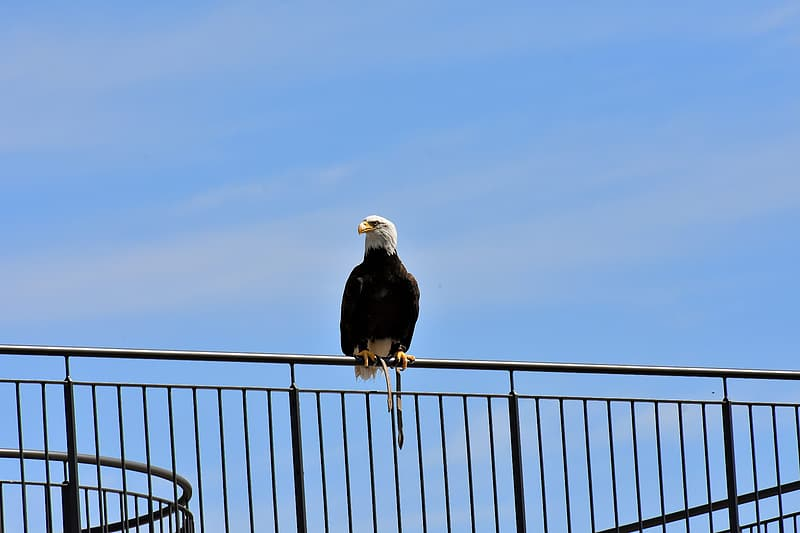 Black and white eagle on black metal fence under white clouds during daytime
